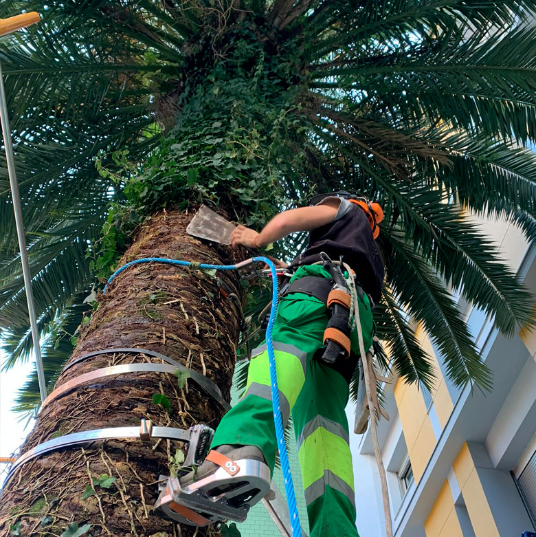 Limpieza de palmeras en Cantabria